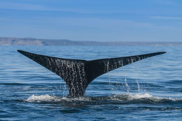 Puerto Madryn, avistar orcas