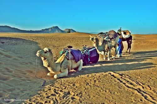 dromedarios-en-el-desierto-de-zagora